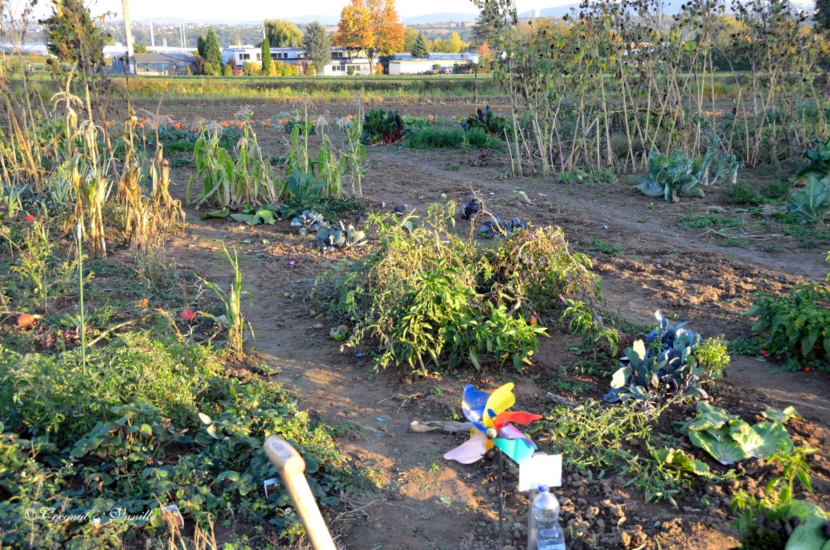 vegetable patch Oktober 2012