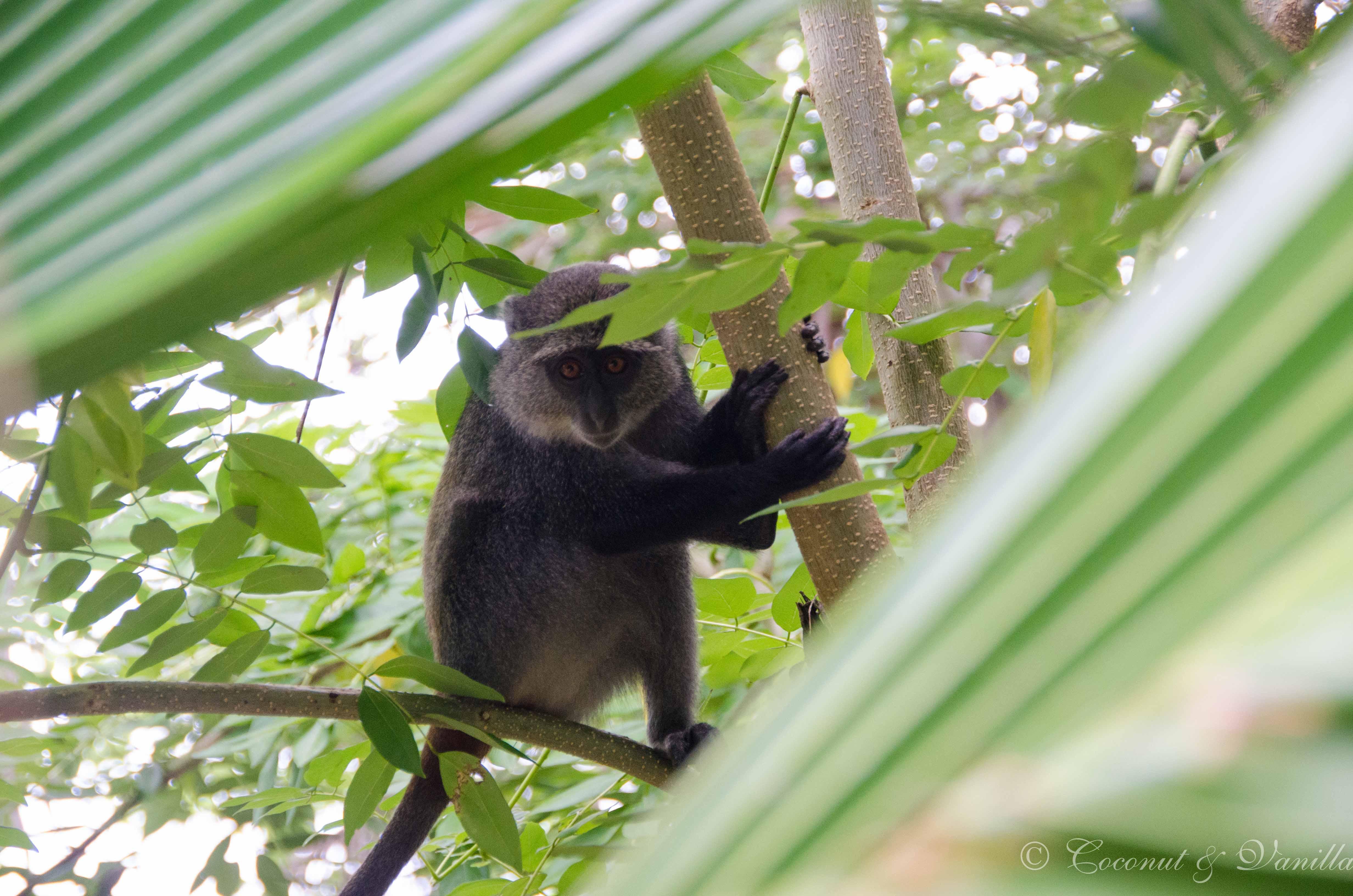 Affe auf Sansibar