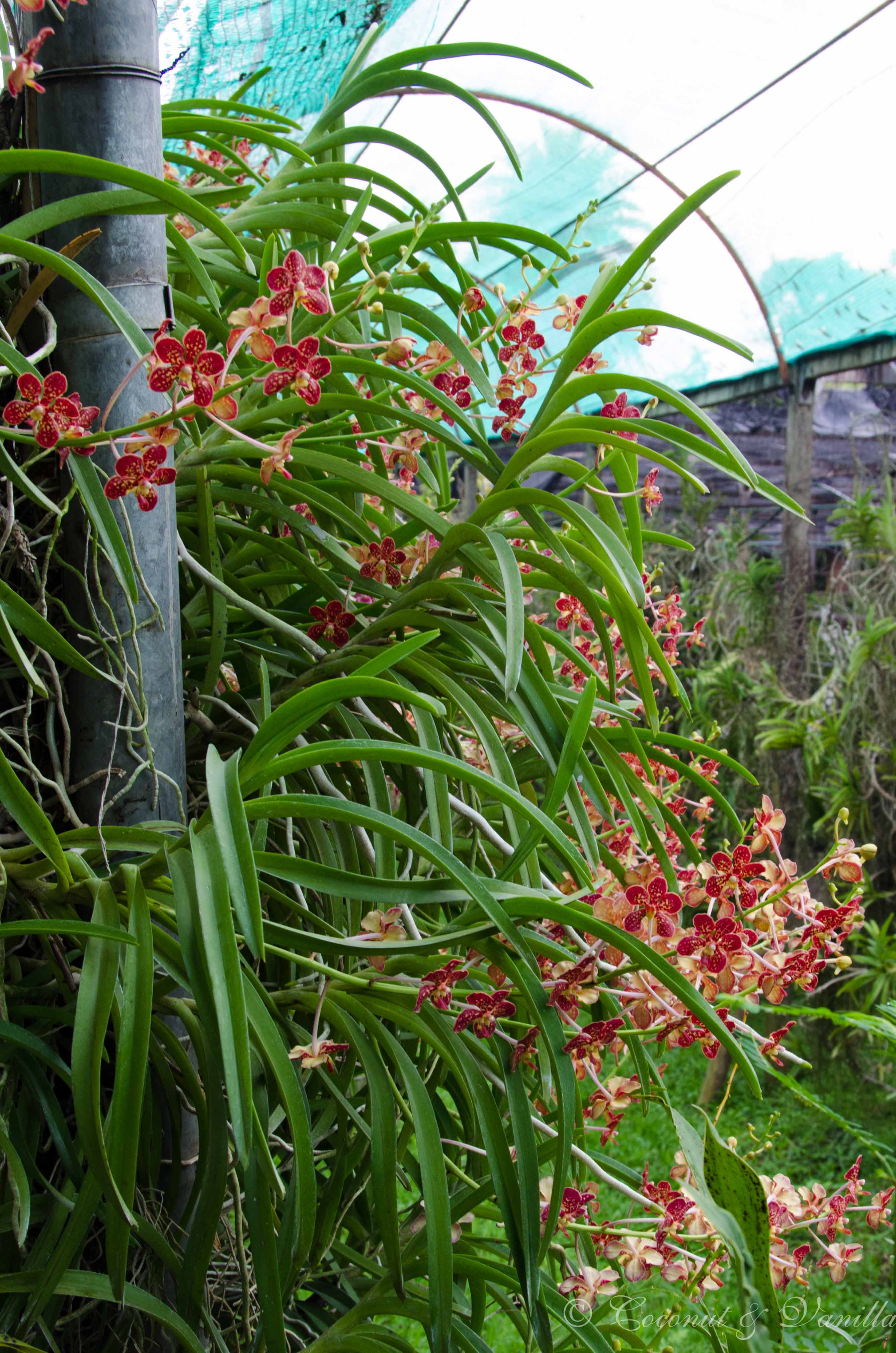 Chiang Mai Orchideenfarm Thailand by Coconut & Vanilla
