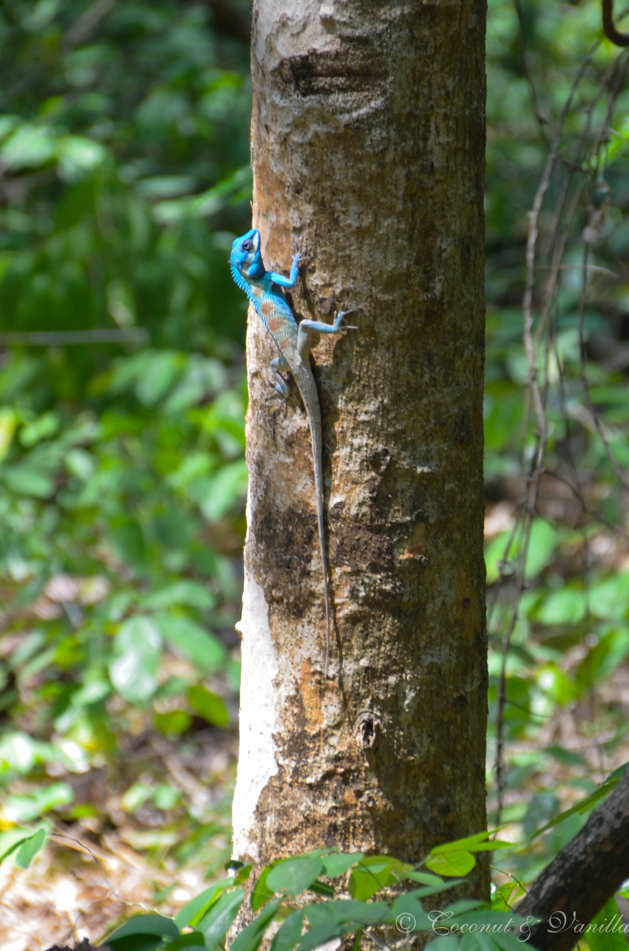 blaue Eidechse in Thailand