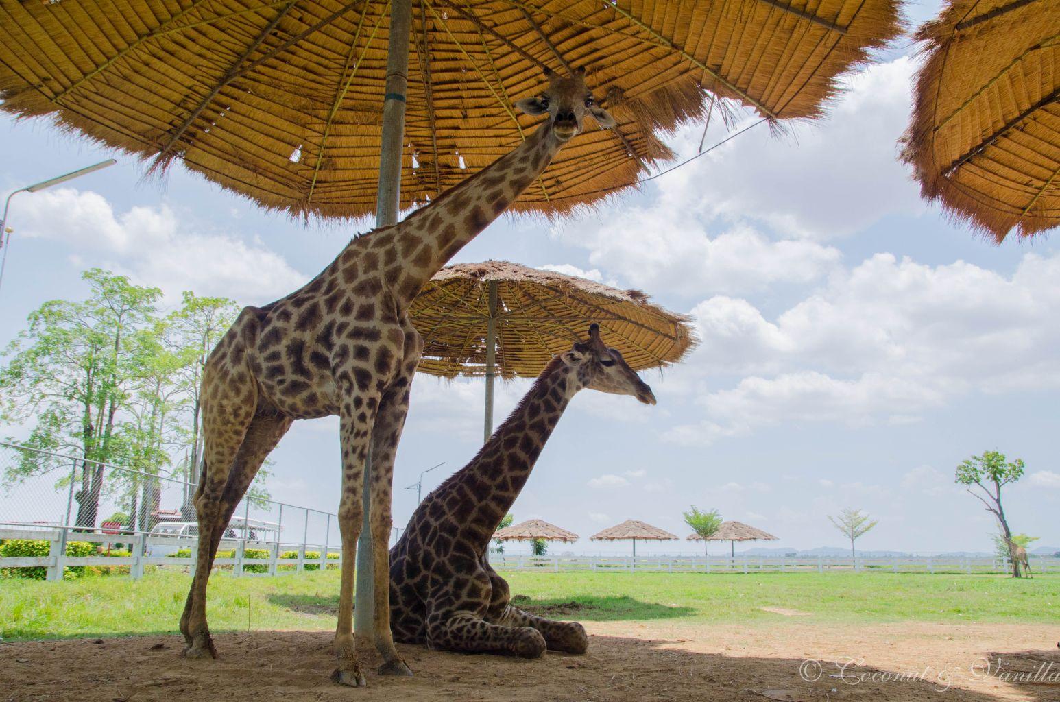 Giraffen am Flughafen Sukhothai by Coconut & Vanilla